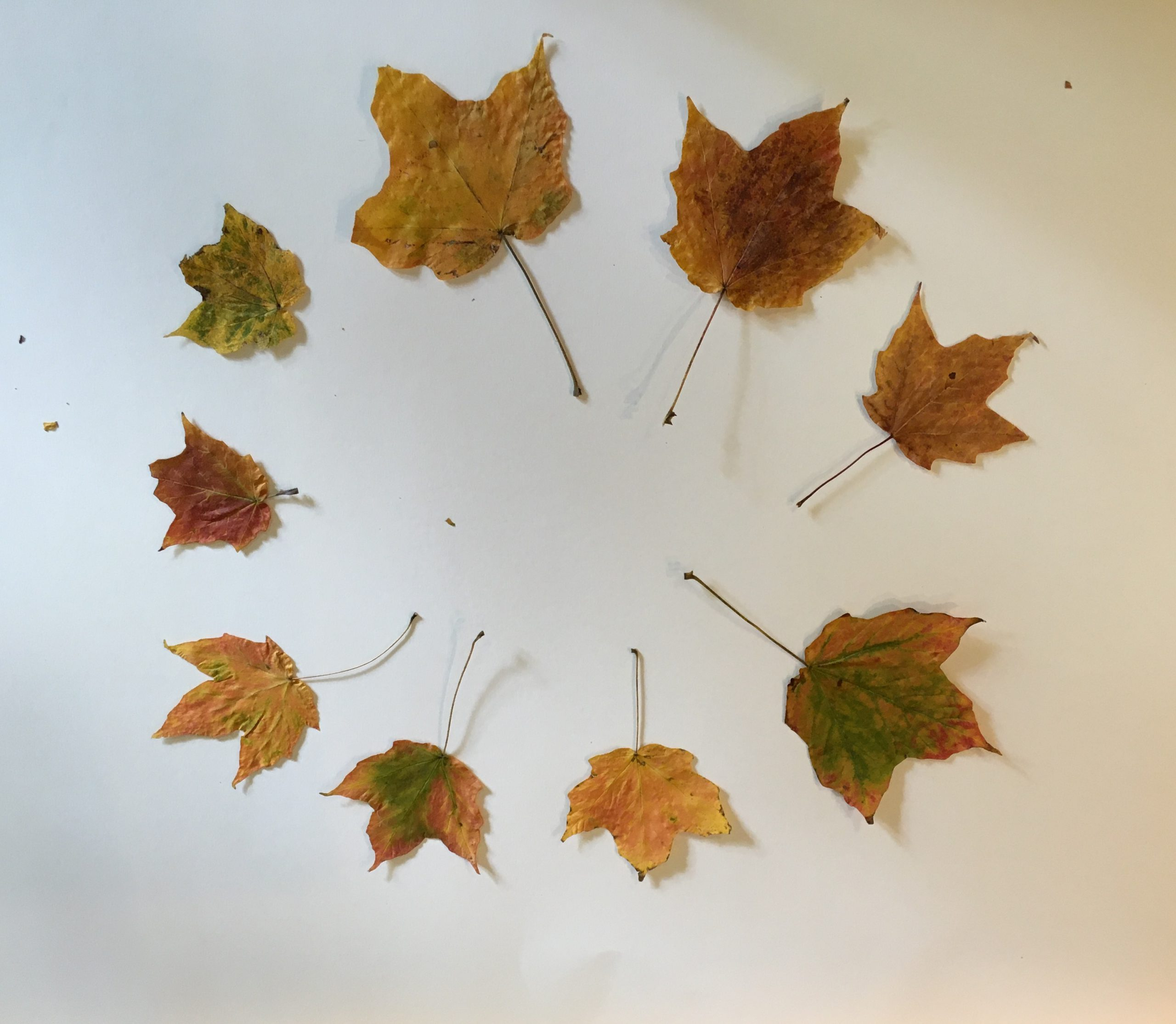 Nine yellow maple leaves arranged in a circle with stems toward the center