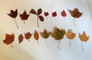 17 fall leaves arranged in 2 rows from dark red to yellow